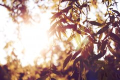 Leafs In Sunlight By allson